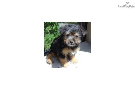 yorkie poo puppies for sale dallas tx yorkiepoo yorkie poo puppy for sale near dallas fort worth d0ae6047 7ae1