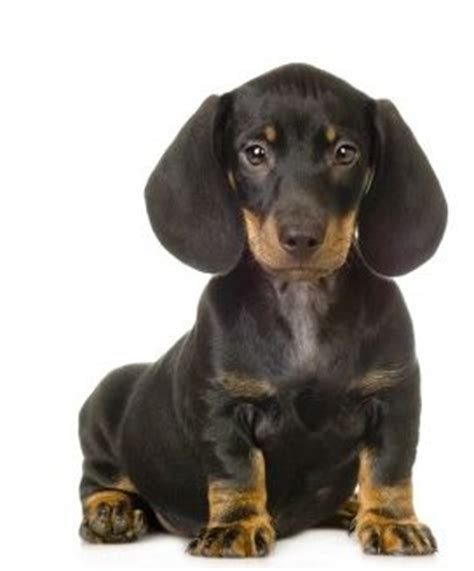 black and dachshund puppy black and beautiful dachshund puppy with big ears looking to the