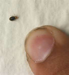 Baby Bed Bugs Pics Baby Bed Bug Images Bangdodo