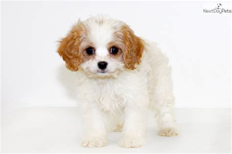 cavapoo puppies ohio cavapoo puppy for sale near columbus ohio f3e05485 f531