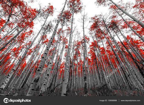 imagenes blanco y negro rojo 193 rboles en el paisaje de blanco y negro rojo fotos de