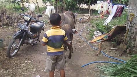 Antibiotik Hewan Ternak Moxacol cara melatih sapi menjadi penurut versi spr kab tegal doovi