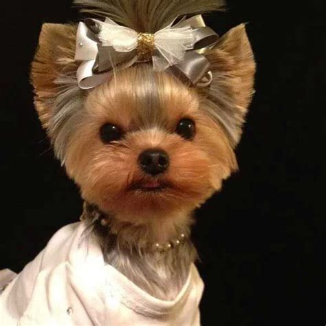 how to layer a long haired yorkie short haircut for yorkie girl muestrario peluqueria