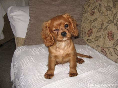 king puppy cavalier king charles spaniel puppy ruby