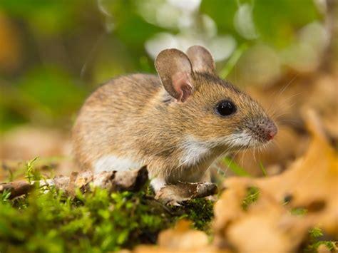 garden rodents types yellow necked mouse apodemus flavicollis melchior 1834