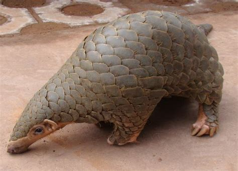 Perangko Taiwan Endangered Mammals Postage Sts Pictorial pangolin dinner prompts calls for species protection china chinadaily cn