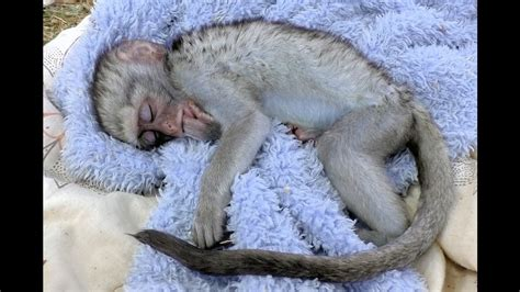 Gw Romper Monkey Blue curious george baby vervet monkey rescue rehabilitated released south africa primate troop