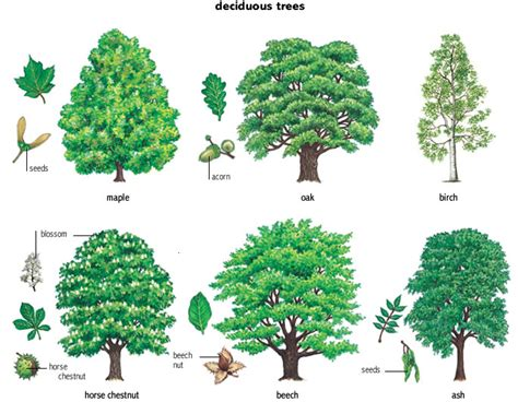deciduous adjective definition pictures pronunciation