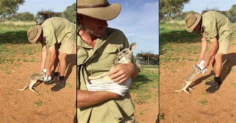doodlebug orphaned baby kangaroo orphaned baby kangaroo adorably jumps into a human made pouch