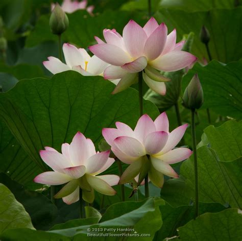 what is lotus blossom lotus blossoms 2013 part 1 beautiful flower pictures
