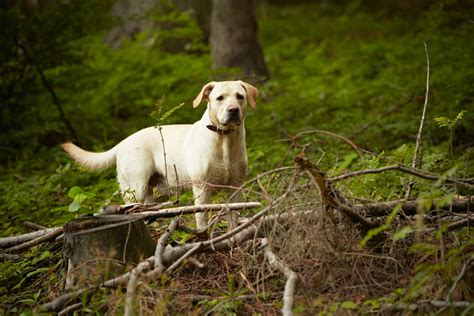 lymes disease in dogs lyme disease in dogs symptoms and treatment
