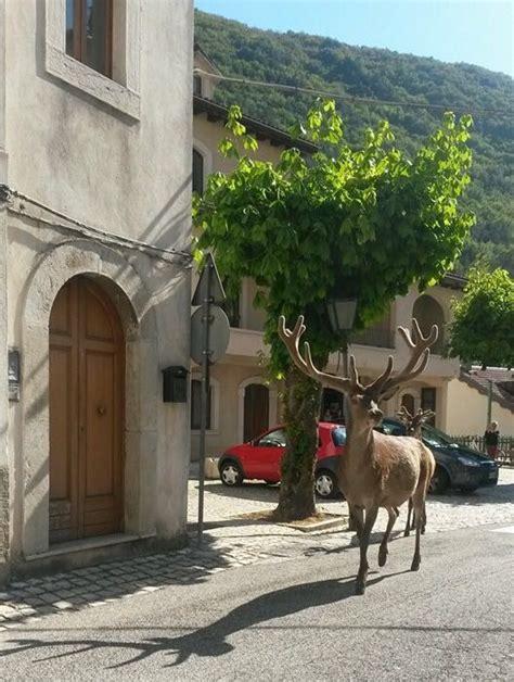 villetta barrea web il cervo che passeggia nel centro abitato di villetta