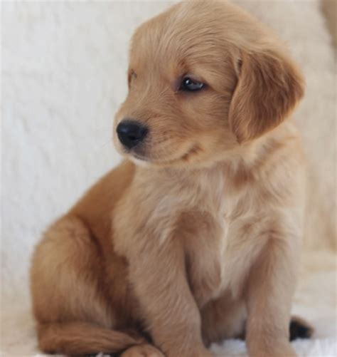 puppy golden retriever for adoption golden retriever puppies ready for adoption pets for free adoption sharjah city