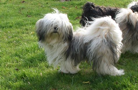 havanese wiki havaneser pillowtalks welpen puppies zucht