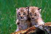 Lynx Connected Care Stock Photograph Of Baby Lynx Buddies Reb1609 Search