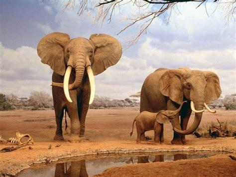 imagenes interesantes de africa informaci 243 n sobre los elefantes h 225 bitos y datos curiosos