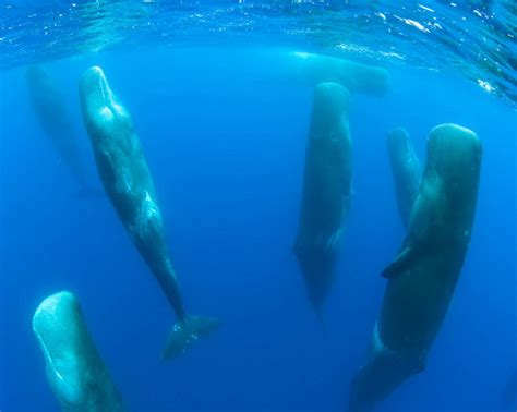Sleeping Pods by Extremely Rare Footage Shows Whales Sleeping Vertically