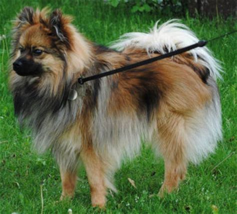 types of pomeranian breeds types of pomeranians pomeranian breed facts care pictures