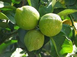 manfaat jeruk nipis  kesehatan kesehatandia