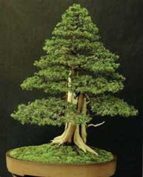 Increíble  Bonsai De Interior #7: Juniperus-rigida-bonsai-2.jpg