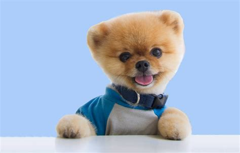 Dog Giveaway - pomeranian giveaway dog breeds picture