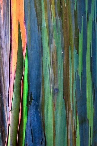 1000 ideas about rainbow eucalyptus tree on eucalyptus tree dole plantation hawaii