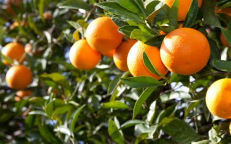 citrus fruit tree citrus tangelo trees for sale