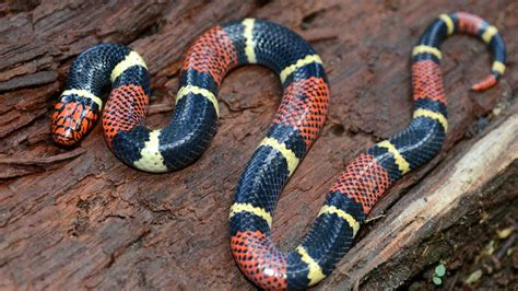 king snakes as pets gallery
