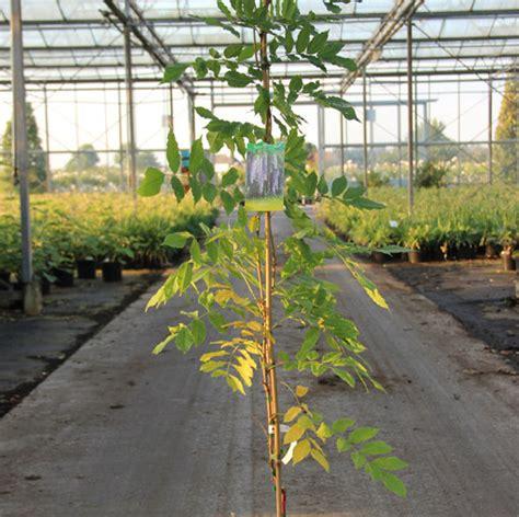 blauwe regen 150 cm klimplant wisteria sinensis amethyst cont 5 0l 150