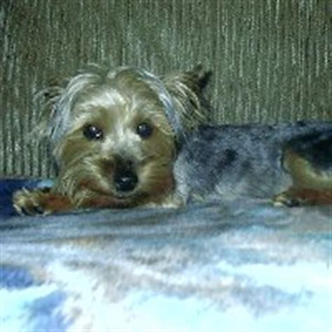what is liver shunt in yorkies terrier rescue