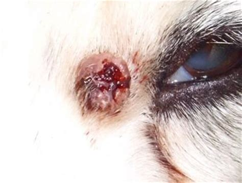 can dogs get warts what doctor for wart removal foot wart treatment info