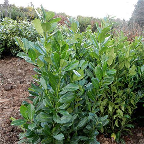 prunus laurocerasus rotundifolia hedge 5 prunus laurocerasus rotundifolia laurel hillside