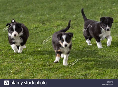 black and white border collie puppy border collie puppies black white puppies stock photo royalty free image 49363624
