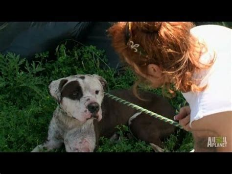 pitbulls and parolees dogs rescuing a with infected wounds pit bulls and parolees