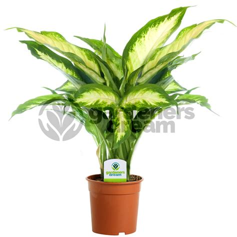 gardenersdream indoor plant mix  plants house