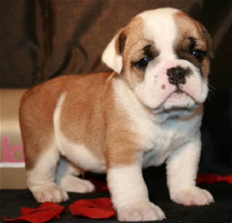 bulldog puppies for sale in michigan 300 bulldog puppies for sale in co jonesboyz bulldogs
