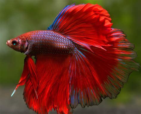 betta splendens alimentazione betta splendens vari colori rimini aquarium zoo
