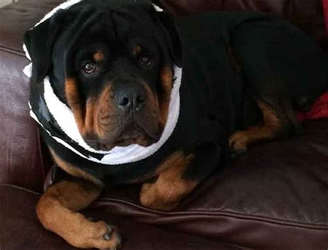 how to make dog cone more comfortable best 25 dog cone collar ideas on pinterest pet costumes