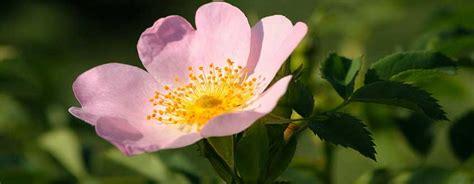 curarsi con i fiori di bach fiori di bach come curarsi con la floriterapia dei fiori