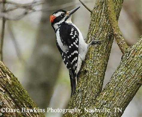 tennessee watchable wildlife hairy woodpecker habitat 1