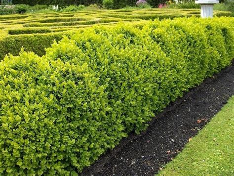siepi per giardino siepi da giardino piante da giardino