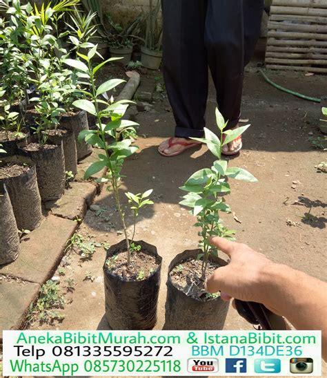 ready stok bibit tanaman pohon siwak harga murah jual