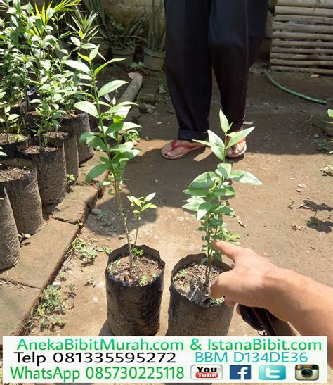 jual bibit tanaman pohon siwak harga murah aneka bibit murah