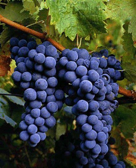 imagenes de uvas tintas sommelier e gourmet castas portuguesas uma vasta riqueza