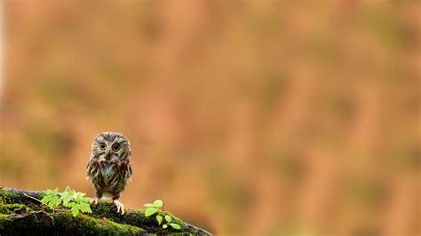 owl background owl wallpaper hd