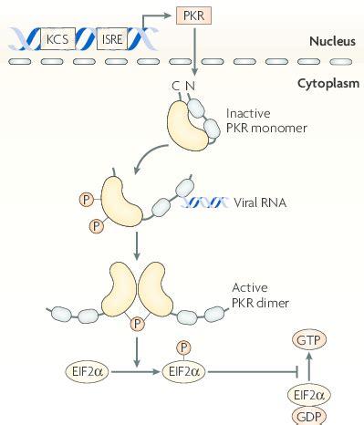 protein kinase r mechanism of of pkr protein kinase r pkr is