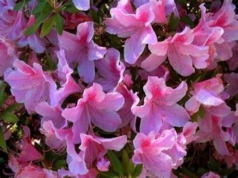 potatura azalea in vaso azalea potatura piante da giardino tutto sull azalea