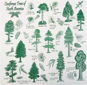 223 best images about conifer ideas on pinterest trees