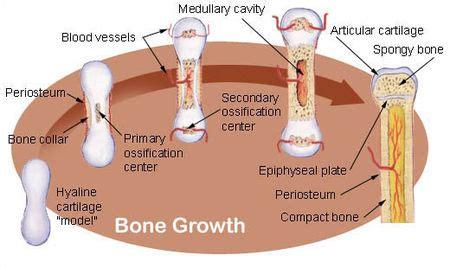 Tulang Tulangan Pressed Bone 6 Inci proses pembentukan tulang pada manusia atau osifikasi artikelpedian