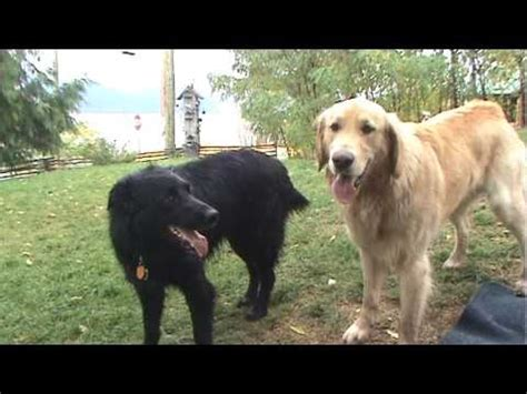 coat golden retriever flat coated retriever vs golden retriever play